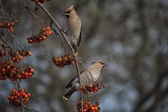 Waxings (toasterjones) Tags: waxwing bird scandinavia bristol bradleystoke waxwings wintermigration fuji