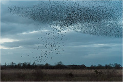 Mumuration (Linz27) Tags: nosterfield copyrightlindseybowes murmuration starlings