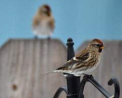 Common Redpoll (steve_scordino) Tags: redpoll commonredpoll alaska birds tamron70300 tamron d7000