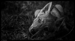 Le petit prince.... (Pilouchy) Tags: baby bebe life vie generation free wild nature loup wood wolf story conte legend histoire lumiere bellissima mystere monochrome blackandwhite regard eyes yeux chemin