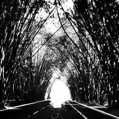 Corredor de bambuzal. #salvador #salvadorbahia #blackandwhitephotography #mobilephotography #mobigraphia #everydaybrasil #everydayeverywhere