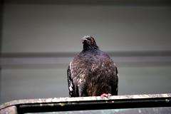 Pigeon_orange_eyed (photo.vandal) Tags: urban orange bird glass eyes pigeon beady