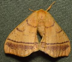 DSC_3038 (happy expat thailand) Tags: orangemoth moth thailand