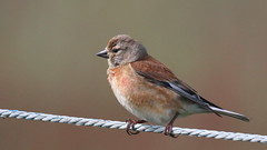 Linotte mlodieuse, Am, n (R, 2014-05-11_02) (th_franc) Tags: oiseau linottemlodieuse