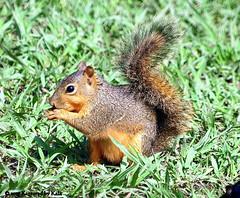 Sunset Bay Baby (Kaptured by Kala) Tags: baby nature squirrel eating whiterocklake babysquirrel foxsquirrel sunsetbay dallastexas