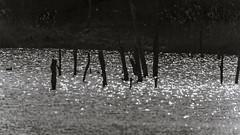 Dalben im Moorhttensee? (peter vogel.troll) Tags: deutschland licht dxo braunschweig niedersachsen dalbe freihandfotografiefreehandpicture gegenlichtfrontlighting 2bbedecktsamerangiosperms reflectionenreflections simulationvonilfordfp4125 ilfordfp4125 2pflanzenplantaeplant bumestrucher{baeumestraeucher}treesshrubs baumtree