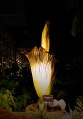365.7.14 (Sound Minion) Tags: flower sumatra indonesia amorphophallus titanum titanarum corpseflower floweringplant denverbotanicgardens carrionflower
