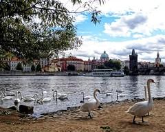 Vlatava River (DASEye) Tags: travel bird water birds river swan europe prague olympus swans czechrepublic vlatava davidadamson daseye