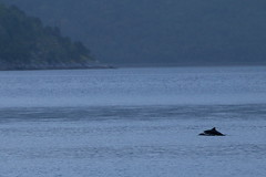 Marsouins (Fredww) Tags: norway wildlife porpoise nordland tysfjord