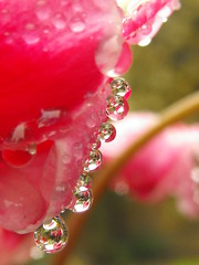 Repetition (Mellisapix) Tags: flower macro reflection water rain bokeh raindrops cyclamen waterdroplet