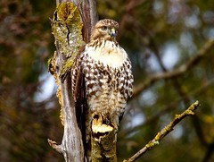 Red-Tailed Hawk Immature (jerrygabby1) Tags: