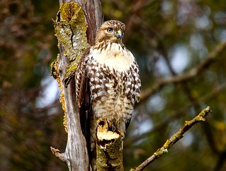 Red-Tailed Hawk Immature