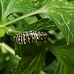 Eating parsley (MissyPenny) Tags: plant green garden outdoor caterpillar worm parsley parsleyworm pdlaich