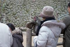 Takasakiyama Monkey Park, Oita, Kyushu, Japan 高崎山モンキーパーク (silkylemur) Tags: japan monkey monkeys macaco fullframe canoneos animalia mammalia saru oita さる kyushu primates takasaki サル 6d snowmonkey 九州 japanesemacaque monkeypark takasakiyama japanesemonkey 猿 macaca chordata macacafuscata キャノン cercopithecidae ニホンザル efmount nihonzaru マカク属 canon6d oitaprefecture 일본원숭이 японский サル目 canoneos6d 哺乳綱 macacojaponés macacogiapponese macacodecararoja オナガザル科 макак ホンドザル японскиймакак ลิงกังญี่ปุ่น khỉnhậtbản キャノンレンズ efマウント efマウントレンズ キヤノンeos6d مكاكيابانيמקוקיפני