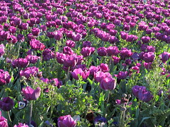 Tulips say good evening to the sun (spelio) Tags: light colour afternoon australia canberra sep floriade 2015