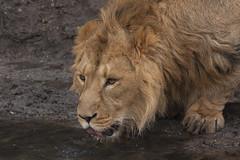 Lion - Blijdorp - Rotterdam (Jan de Neijs Photography) Tags: lion leeuw rotterdam rotterdamsediergaarde rotterdamzoo zoo dierentuin diergaardeblijdorp dierenpark diergaarde animal dier blijdorp