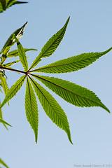 Cannabis leaf (f/4) Tags: india manali cannabis himachal tosh kullu hashish pradesh charas parvati