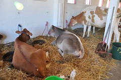 Goshen Fair 2015 (caboose_rodeo) Tags: cows livestock 714 dairycattle connecticutstateagriculturalfairs