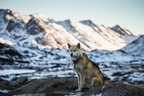 Sledge dog in Sisimiut