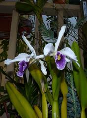 Cattleya purpurata var. werkhauseri #1 orchid species, new 2-15, in bloom  7-15* (nolehace) Tags: sanfrancisco new summer orchid flower 1st bloom cattleya species doc var 715 purpurata nolehace fz35 werkhauseri