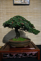 DSC00289 (Prox-Photography) Tags: show tree pine demo japanese maple display carving pot bonsai mame yew elm juniper beech scots cotoneaster hornbeam shohin 2015 greenwoods elsecar
