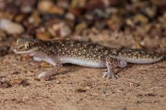 Eastern Fat-tailed Gecko (R. Francis) Tags: qld queensland mountmolloy mountcarbine ryanfrancis ryanfrancisphotography diplodactylusplatyurus easternfattailedgecko