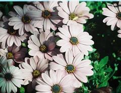 Some flowers, very close together. (Matthew Paul Argall) Tags: flowers plants plant flower 110 110film minolta110zoomslrmarkii