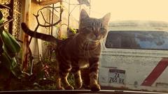 Ragazzino passeggia (BluElika) Tags: old cat photo flickr dettagli gatto antico targa vetro tigrato datato furgoncino