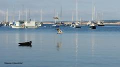 Pelican in Monterey bay (Simone Ginestrini) Tags: california sea bay harbor monterey barca mare ship simone pentax ships montereybay pelican barche porto seal vista acqua foca allaperto pellicano veicolo sullacqua k200d pentaxk200d ginestrini simoneginestrini vistasullacqua