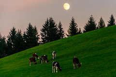 Abendessen im Mondschein - Dinner in the moonlight (bischofbrigitte) Tags: lune schweiz switzerland evening suisse sg calves abendstimmung klber moonrising mondaufgang eggersriet veaux