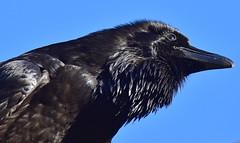 Kolkrabe (staretschek) Tags: almtal rabenvogel kolkrabe cumberlndwildpark