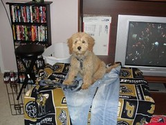 this-is-stanford-pete--hes-one-of-kenzie-and-chewys-f1b-puppies_5717658990_o
