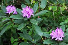 Le parc Montserrat (hans pohl) Tags: flowers portugal nature fleurs sintra montserrat