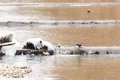 Wasseramsel 10 (rgr_944) Tags: vögel vogel bird oiseau tiere animaux animals natur outdoor canoneos60deos70deos80d rgr944