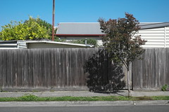 Fence (martyr_67) Tags: fence suburb suburban residential northcote melbourne lagerstromia crepemyrtle lemon