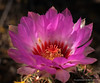 Thelocactus bicolor ssp. schwartzii (l.e.violett) Tags: cactus flower cultivated arizona pse macro