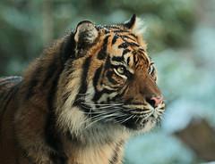 sumatran tiger Burgerszoo JN6A1071 (j.a.kok) Tags: tijger tiger sumatrantiger sumatraansetijger pantheratigrissumatrea burgerszoo tess nonja kat cat mammal predator
