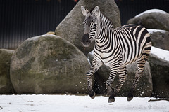 Zebra (Cloudtail the Snow Leopard) Tags: zebra steppenzebra pferd tier säugetier mammal animal horse common burchell equus quagga burchellii run running rennen galoppieren schnee snow winter zoo stadtgarten karlsruhe burchellequus