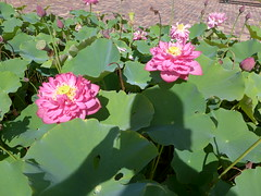 Double pink cultivar of the sacred lotus, Nelumbo nucifera (tanetahi) Tags: lotus pink double mtcoottha pond nelumbonaceae nelumbo nelumbonucifera brisbane