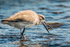 Crabbin' Season (shufisher) Tags: crab willet birding texas portaransas wildlife
