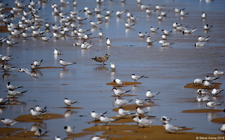 Forster's Tern (Sterna forsteri) in a sea of terns