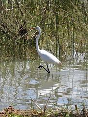 Great White Egret (Ardea alba) (mat.breiten) Tags: great white egret ardea alba bird baringo kenya