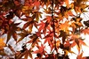 Shades of autumn... (Syahrel Azha Hashim) Tags: autumnseason autumn nature sony 2016 fall holiday colourfulleafs simple kyoto details a7ii fallenleafs ilce7m2 dof lowangle getaway handheld colorimage vacation sonya7 prime light season naturallight backlight colorful texture beautiful travel syahrel 35mm shallow colors leafs nopeople tree japan detail