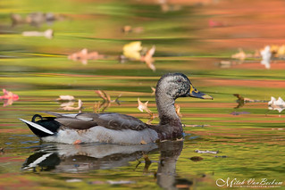 A Farewell To Autumn (Mallard Hybrid)