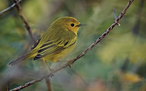 Yellow Warbler 1486