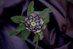 Winter beauty (ekkkorobkina) Tags: flower bloom minolta beercan purple hellebore lentenrose artisticflowers excellence