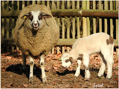 Maman et bébé - Mother and baby -Explore 2017-01-08 #104 (Jogabi - Michèle) Tags: saariysqualitypictures sheep naturethroughthelens coth5