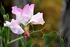 Sweet Pea (3) (jangurney) Tags: d5500 nikon sweetpea pink sigmalens
