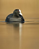 Coot Fulica atra (Iain Leach) Tags: birdphotography wildlifephotography photograph image wildlife nature iainhleach wwwiainleachphotographycom canon canoncameras photography canon1dx canon5dmk3 beauty beautiful beautyinnature macro macrophotography closeup cootfulicaatra water waterbird waterfowl nottingham