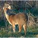 Chinese Water Deer. (vegetus aer) Tags: woodwaltonfen greatfen greatfenproject wildlifetrust bcnwildlifetrust nnr cambridgeshire wildlife rx10m3 chinesewaterdeer